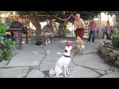 Berkeley Trick Dog Training: Canine Circus Class sept 18, 2011, Bay Area Dog Trainer