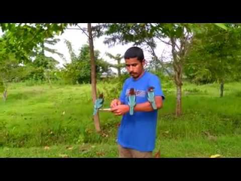 Common Kingfisher. Bird Catching Fish. Kingfisher Bird Friendship With Human | Assam | OMG