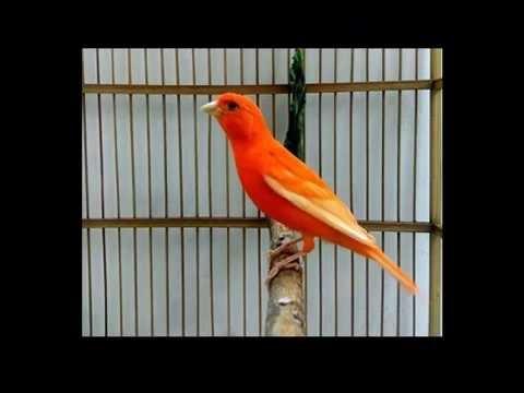 Download Lagu Suara Burung Kenari Merah Gacor