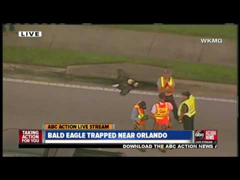 BREAKING NEWS | Crews work to rescue two bald eagles from storm drain near Orlando