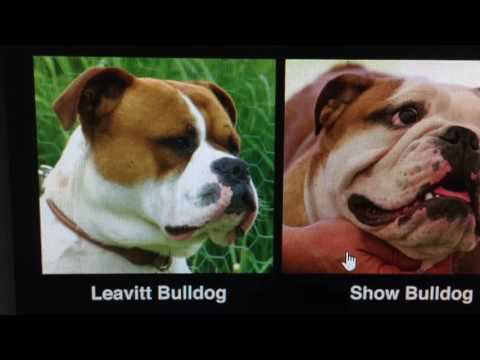 WORKING GAME BRED DOGS VS SHOW NON WORKING DOGS