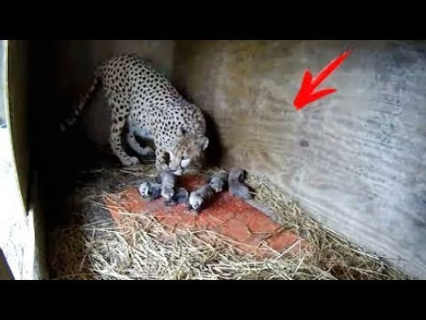 Puppy was thrown into a CHEETAH'S enclosure, and that's what happened next...