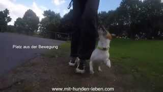 vid os jack russell terrier chiens de race jack russell. Black Bedroom Furniture Sets. Home Design Ideas