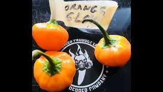 ORANGE GLOW CHILE: REVIEW BY BISHOP BRAD & JIMMY PICKLES PRODUCT LINE LLC