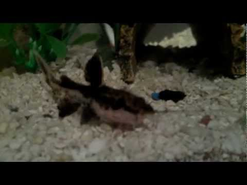 4'' spotted raphael catfish from YouTube · Duration:  1 minutes 3 seconds  · 4,000+ views · uploaded on 6/13/2011 · uploaded by LustMorde