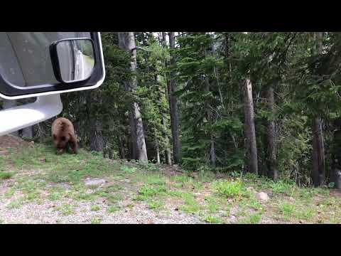 Bear in Yellowstone June 28, 2018