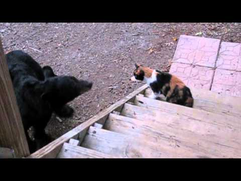 Bear Meets an Unfriendly Cat