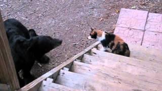 Bear Meets an Unfriendly Cat