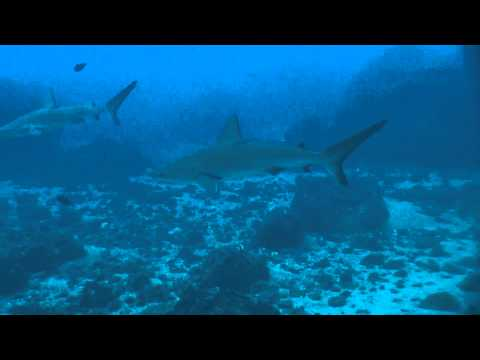 Galapagos Sharks at the Kermadec Islands