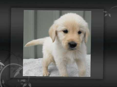 White Cream Australian Labradoodle Puppies bred in NSW Australia