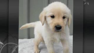 White Cream Australian Labradoodle Puppies bred in NSW Australia