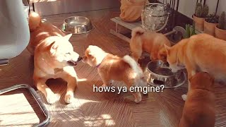 Puppy triggers Dad = Amgery - Shiba Inu puppies (with captions)