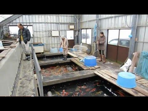 Niigata japan koi fish farm tour breeder isa maruyo koi for Koi farm japan