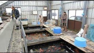 Niigata Japan Koi Fish Farm Tour - Breeder: Isa Maruyo Koi Farm