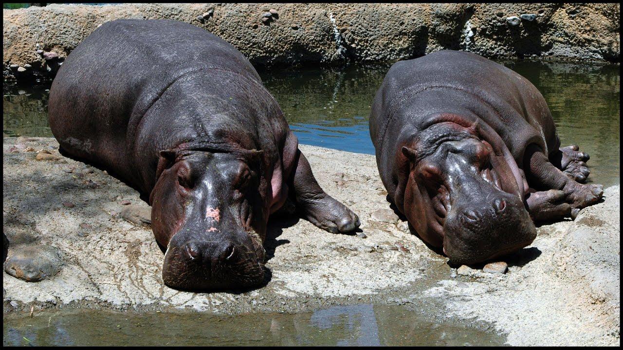 Hippo Pics (Hippopotamus amphibius) - YouTube Hippo Definition