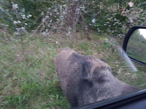 Vaddisznó Románc - Találkozás Rozival / Wild boar Romance