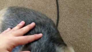 Pregnant Yorkshire Terrier 妊娠で苦しそうなヨークシャテリア