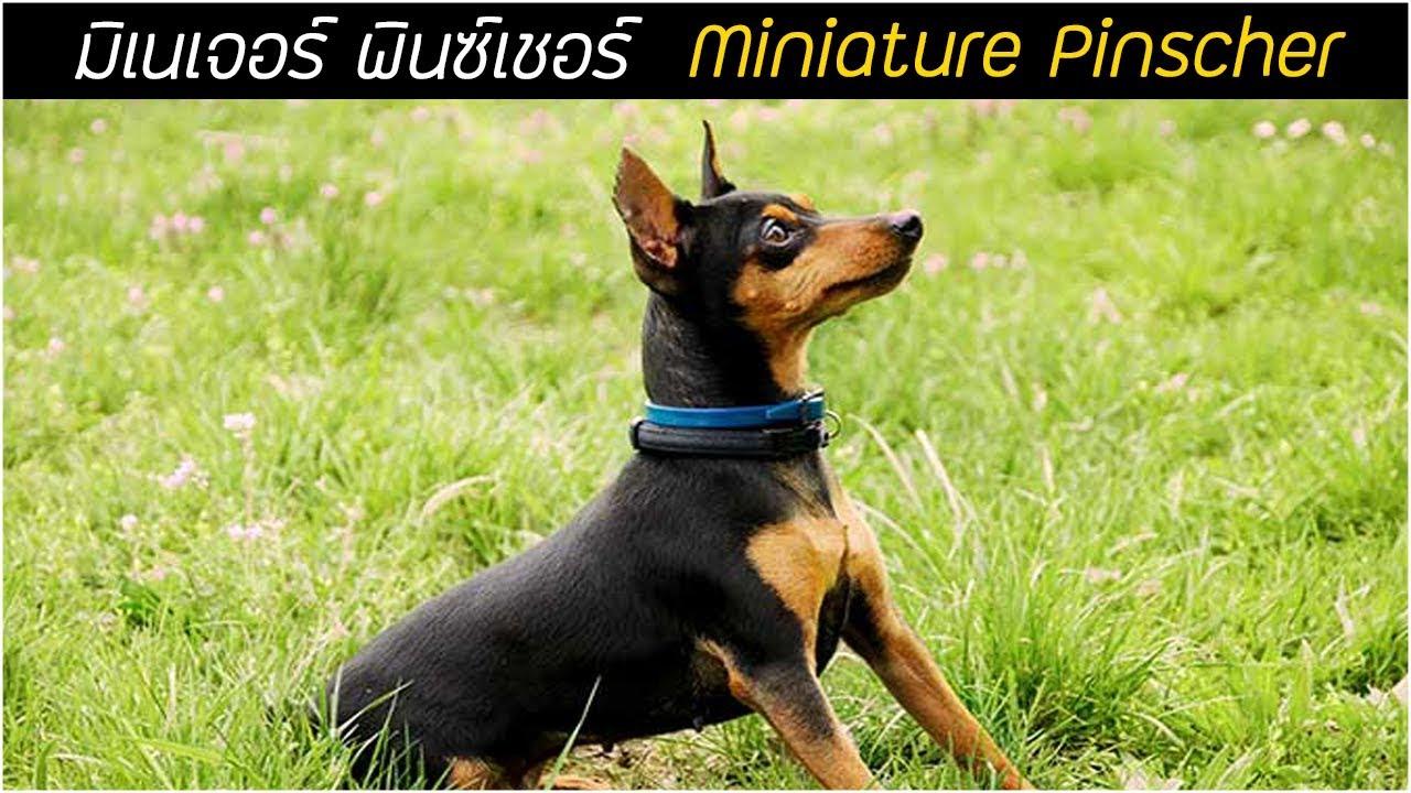 รู้จักสุนัขพันธุ์ มิเนเจอร์ พินซ์เชอร์ (Miniature Pinscher) โดเบอร์แมนพันธุ์จิ๋ว!!