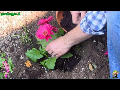 El Jardinero En Casa Gerbera Funnycat Tv