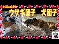 犬団子とウサギ団子 キャバリア犬211