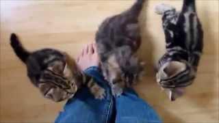 Смешные кошки играют (бенгальские котята) лазят по штанам, лечат людей
