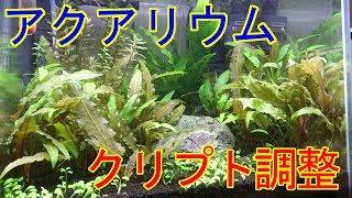 【アクアリウム】クリプトコリネのトリミングと季節のお話【水草】 thumbnail