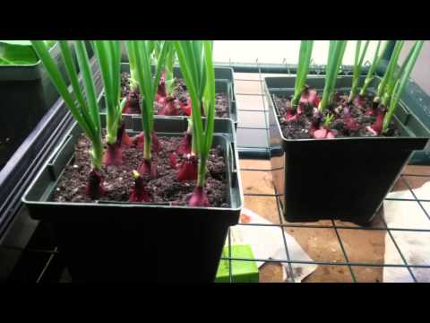 Starting onions from sets indoors!