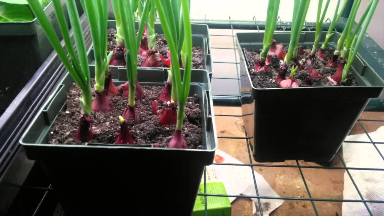 Starting Onions From Sets Indoors
