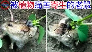 [TOP3]數個你沒想過會攻擊動物的恐怖植物 | 從體內啃食老鼠的恐怖植物 | 與動物合作狩獵的植物
