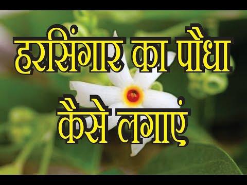 हरसिंगार का पौधा कैसे लगाएं, HowTo Grow harsingar  NOT- [seeds link below in description]