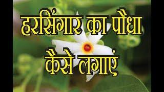 हरसिंगार का पौधा कैसे लगाएं, HowTo Grow harsingar plant {Parijatha) Gardening Sekho in Hindi/Urdu,