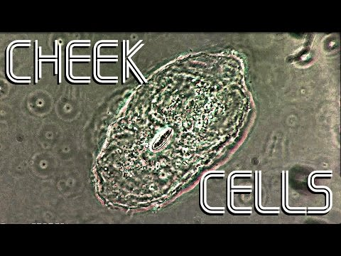 Cheek Cells Under Microscope 1080p HD