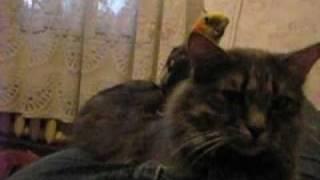 попугай любит кошку. редкое видео