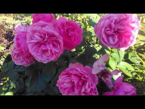 Английские розы. Шрабы и флорибунда