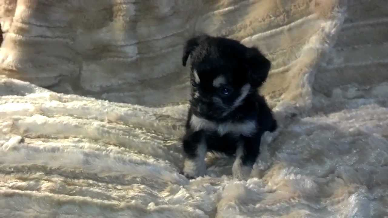 Black And Tan Boy Tiny Chihuahua Yorkie Mix Puppy Youtube