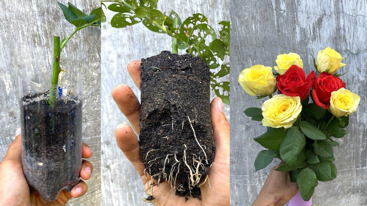 Thử giâm cành hoa hồng mua ở chợ | Propagate rose branches