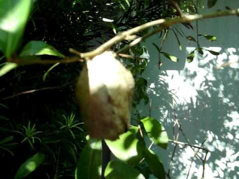 Ants Living In Pod Nest On Oak Tree Branch Arboreal Florida