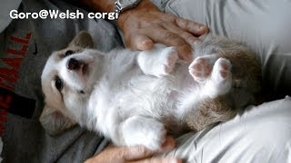 Name Of 20130629 Part 8 Cute Corgi Puppies, Nail Clippers / コーギー子犬 爪切り