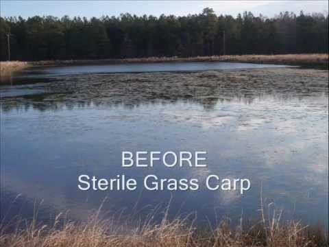 how to make grass sterile