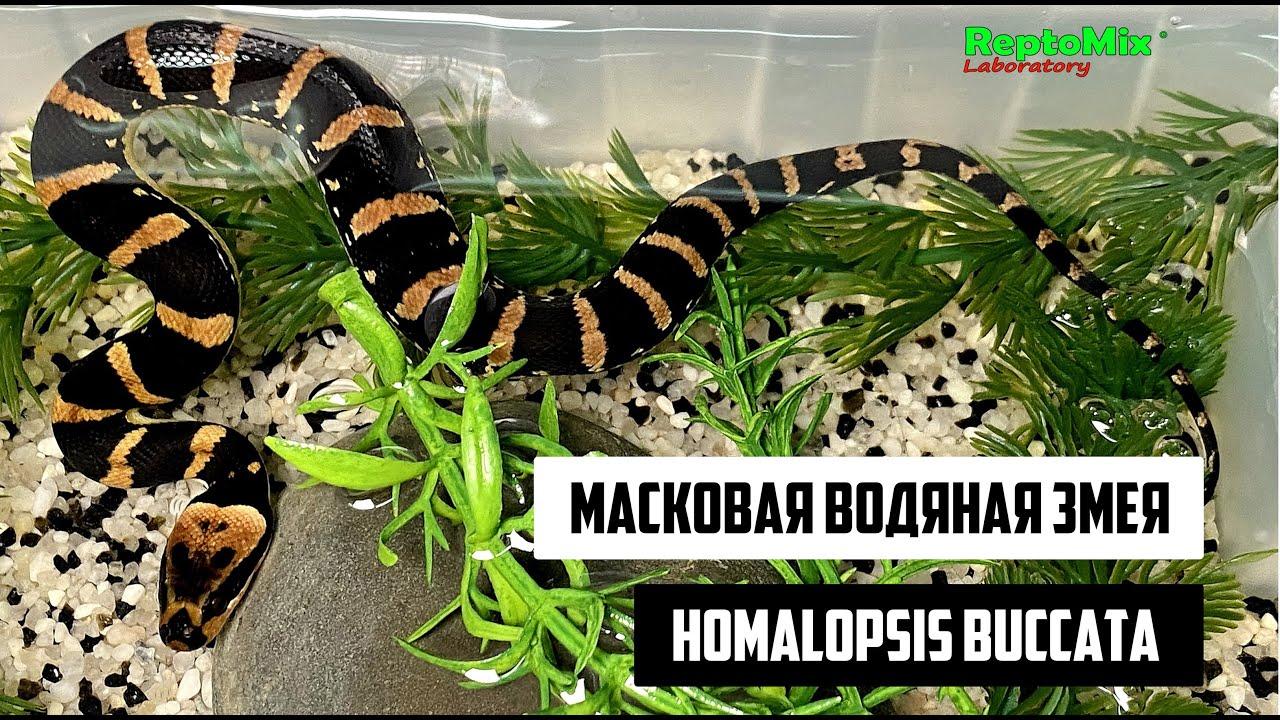 Кормление подростков Homalopsis buccata, масковых водяных змей.