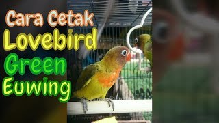 Video Cara Menghasilkan Lovebird Green Euwing | Dari Induk Pastel Euwing X Green Olive download MP3, 3GP, MP4, WEBM, AVI, FLV Maret 2018