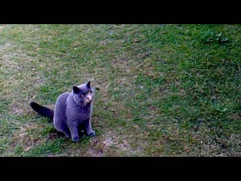 The Ultimate Pet- British Blue: Cat Plays Fetch BETTER than a Dog!