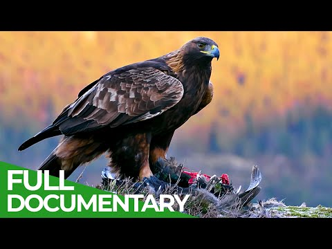 The Golden Eagle - Master of the Sky | Free Documentary Nature - Free Documentary - Nature