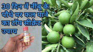 30 दिन में नींबू के पौधे पर फल पाने का टॉप सीक्रेट उपाय/Best fertilizer for lemon tree