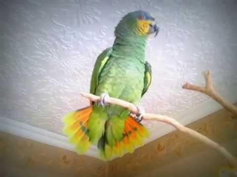 видео: Мой ручной говорящий Амазонский попугай Гоша