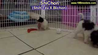 Shichon, Puppies For Sale, In, Nashville, Tennessee, Tn, County, 19breeders, Knoxville, Smith