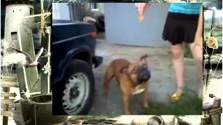 Собака Бой Дог Киллер