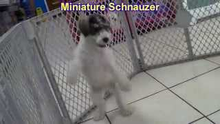 Miniature Schnauzer, Puppies, For, Sale, In, Birmingham, Alabama, Al, Montgomery, Tuscaloosa, Jeffer