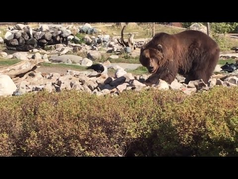 Grizzly Bear Discovery Center in West Yellowstone