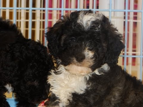 Havatese, Puppies, Dogs, For Sale, In Denver, Colorado, CO ...